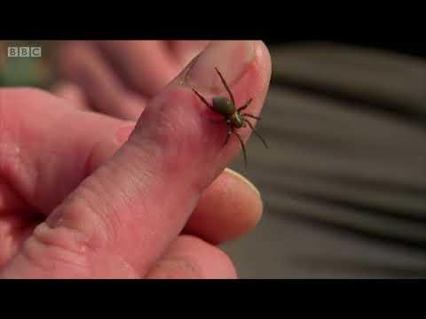 Mucizevi hayvanlar: Su altı örümceği