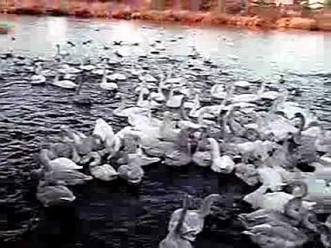 11-01-18-2 水戸市弁天池のハクチョウ白鳥スワンSWANS