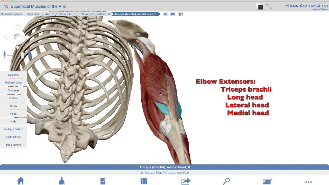 Muscles of the Elbow flexors-extensors - YouTube