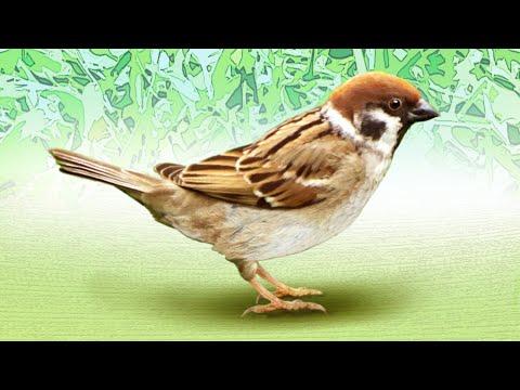 麻雀   Passer Montanus  大陸列國家保護全面禁捕