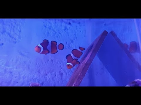 How To Breed Clownfish Part 2