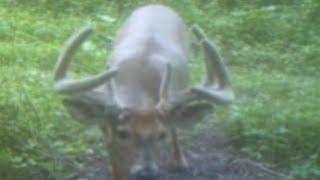 MONSTER BUCK in velvet antler eating Nutra Deer Mineral.