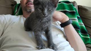 Russian Blue kitten massaging my stomach