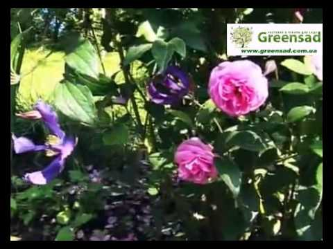 Лучшие соседи роз. Сочетание роз с другими цветами