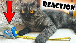 Funny Cat Reaction to Building Tape - New Toy for Cat Badi
