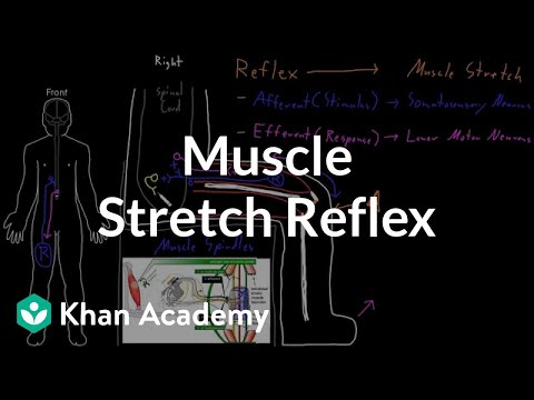 Muscle stretch reflex | Organ Systems | MCAT | Khan Academy