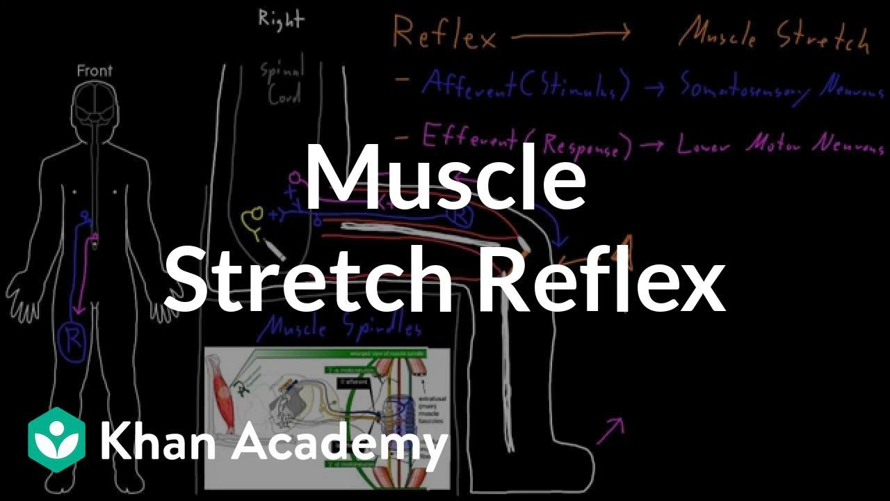 Muscle stretch reflex (video) | Khan Academy