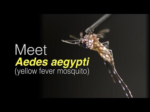 Meet Aedes aegypti