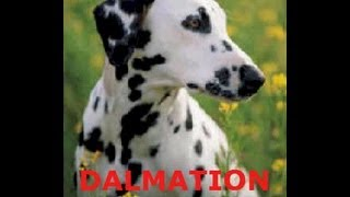 Dalmatian (family Pet) Loyal Companion!