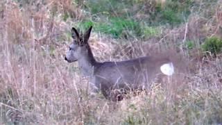 Zwierzęta Sarny w listopadzie Są już w zimowej szacie/ Animals Roe deer