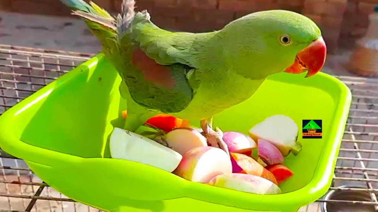 Naughty Alexandrine Parrots Having Fun And Eating Mix Vegetables On Their Cage||So Funny Raw Parrots
