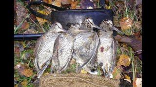 Охота опережение Вальдшнеп в конце сентября