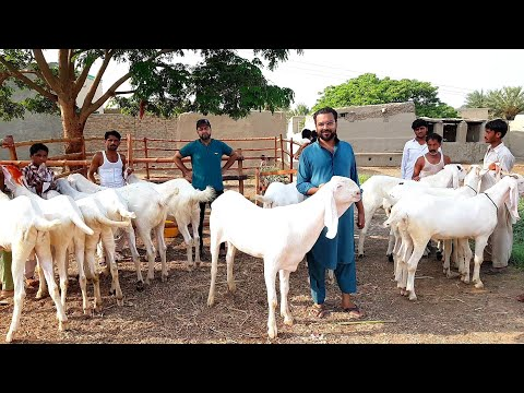 Repeat Islamabad Bakre sale ho gaye hain M Sabir goat farm by گوٹ