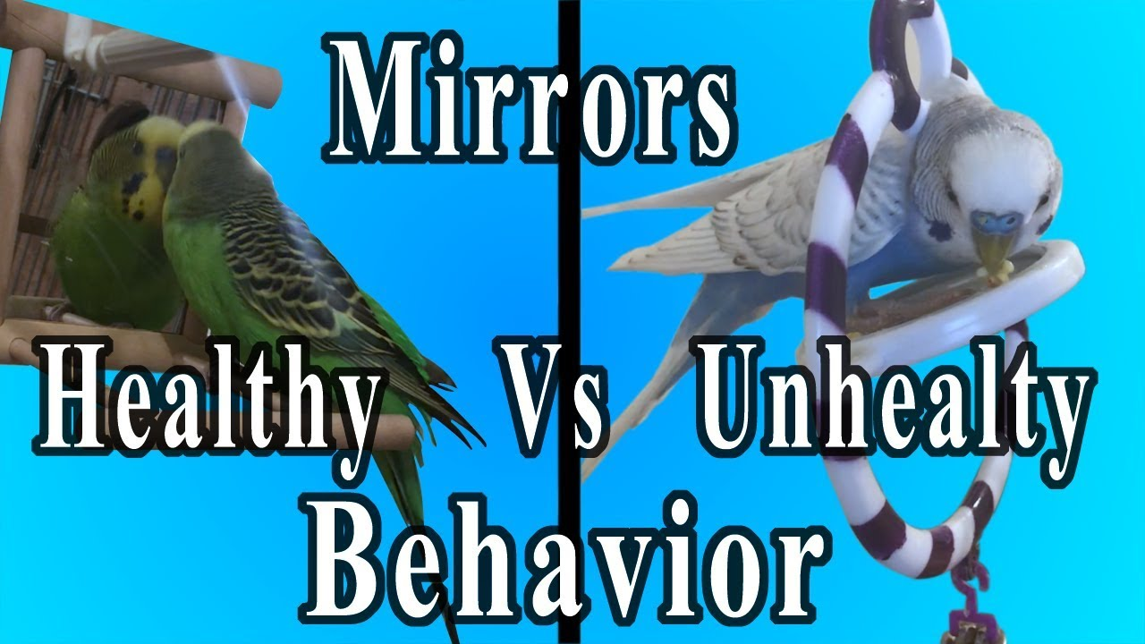 Are mirrors bad for Budgies Birds Parakeets?