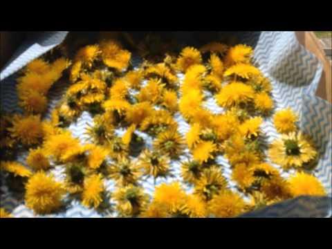 making-dandelion-flower-tea-and-infused-oil