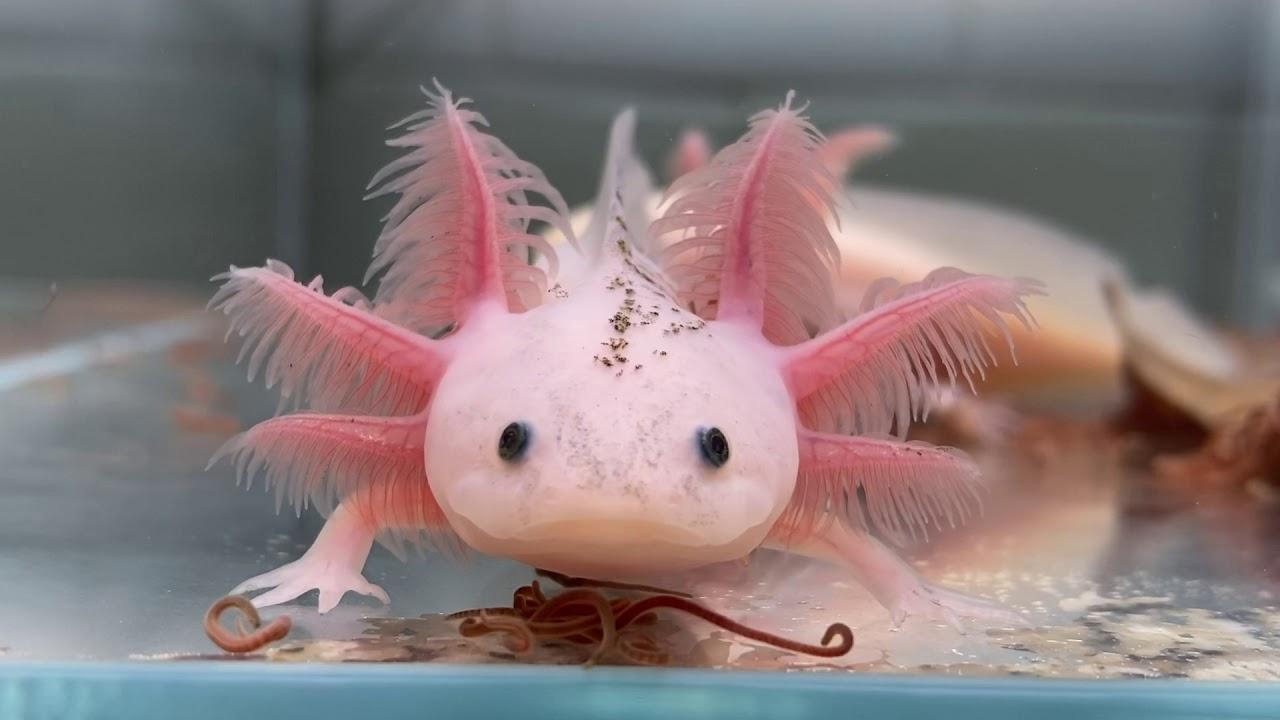 Wild Type/Leucistic Spilt Mosaic (Wild/Dirty Lucy Spilt Mosaic) Axolotl -  YouTube