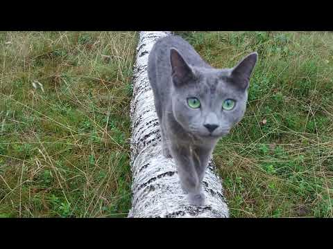 Caspian, a Russian blue cat, just after the storm in the woods