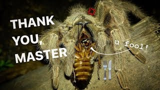 FEEDING my TARANTULAs (feat. Elvarg) !!! ~ Highly requested video after SO LONG ..