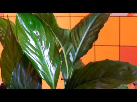 Растения для Семейного Счастья.Спатифиллум и Антуриум