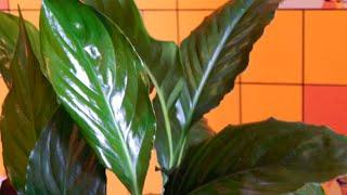 Спатифиллум уход. Spathiphyllum flower - Популярные комнатные, домашние растения и цветы(В видео рассмотрим спатифиллум женское счастье - самые красивые комнатные цветы. Это неприхотливые комнатн..., 2014-11-06T11:49:11.000Z)