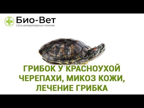 Грибок у красноухой черепахи, микоз кожи, лечение грибка