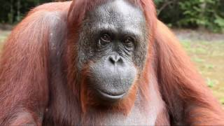 AMAZING! Orangutan asks girl for help in sign language (ACCURATE TRANSLATION)