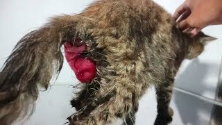 Kucing yang mengalami prolaps rektum / rectal prolapse ( dokter hewan )