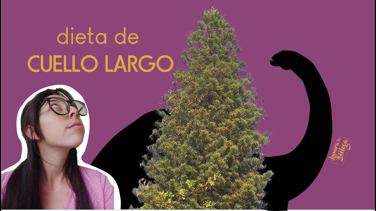 ¡Árbol ancestral en mi ciudad! la Araucaria