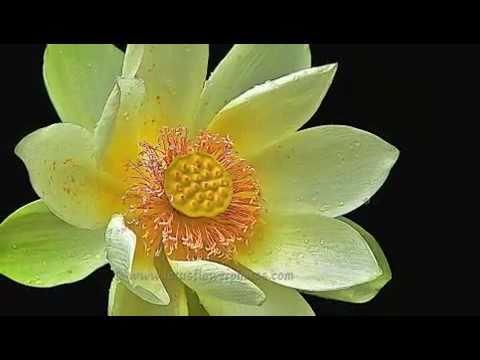 Amazing lotus flower photos part 5 youtube mightylinksfo