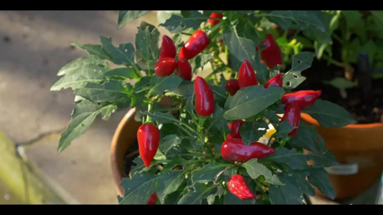 edible gardening in the shade  sustainable gardening australia  sga