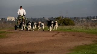Californian Dogs Take Lead In Urban Mushing