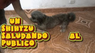 Shihtzu   Saludando  Al  Publico /shihtzu   Greeting To  The  Public/shihtzu  Dog