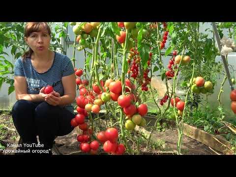 СУПЕР УРОЖАЙНЫЙ ТОМАТ МАЛИНОВАЯ ИМПЕРИЯ!ЛУЧШИЕ ТОМАТЫ СЕЗОНА!   выращивание   урожайный   вырастить   томатами   помидоры   томатов   теплице   теплица   рассада   томаты