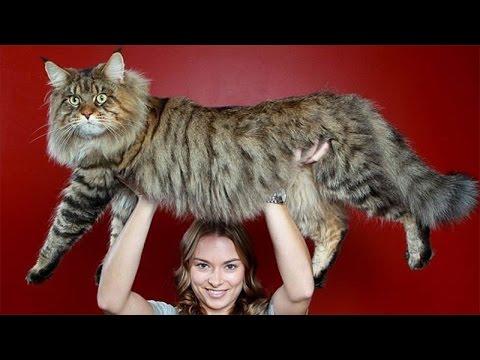 10 Biggest Cat Breeds