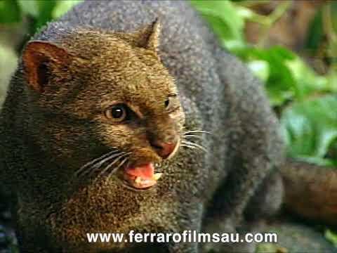 Jaguarundi, a little known cat