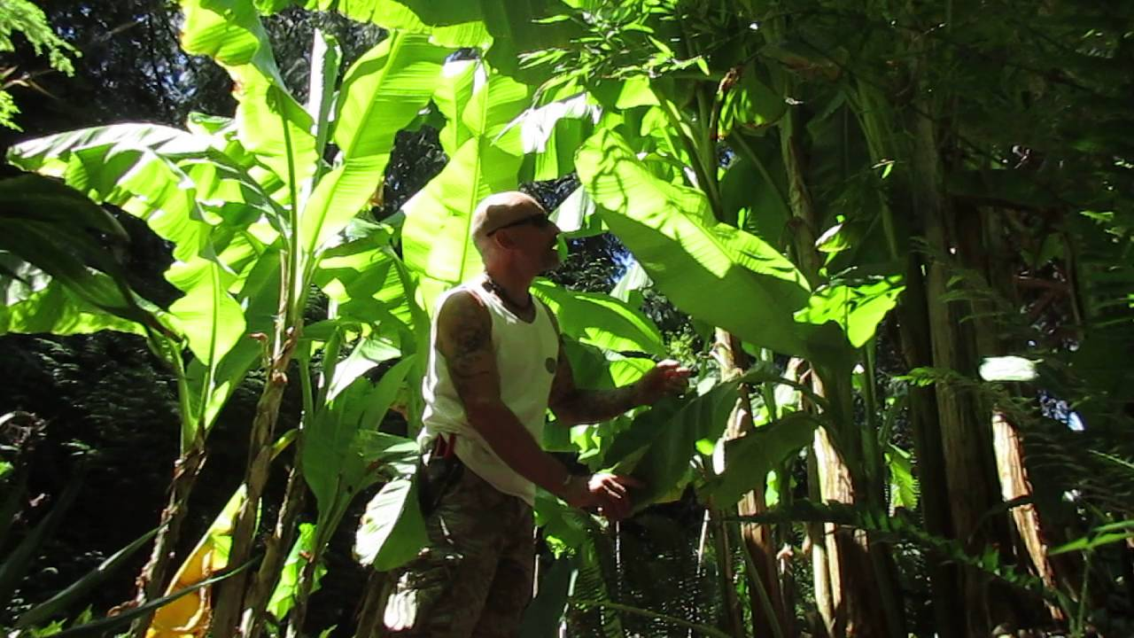 Growing Musa Basjoo Bananas In Canada