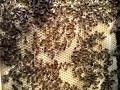 Как пчелы строят вощину 23 апреля 2019?