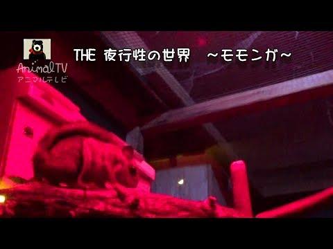 夜のモモンガ Sugar Gliderdark in Dark #350【AnimalTV アニマルテレビ】