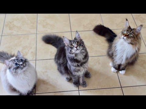 Maine Coons Meow for Treats