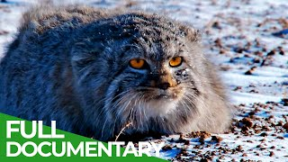 Wildlife Instincts: Pallas's Cat - Master of the Plains | Free Documentary Nature