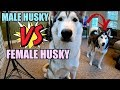 The Differences Between A Male & Female Siberian Husky