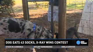 Dog Eats 43 1/2 Socks...wait 'til You See The X-ray!