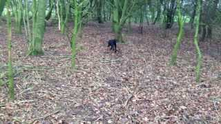 Gundog Training A 5 Month Old Labrador To Retrieve A Dummy With Distance Control.