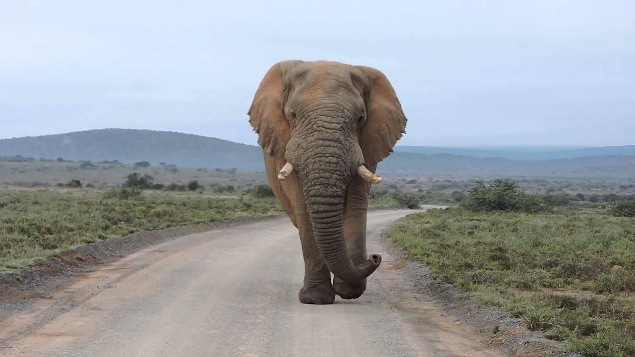 big elephant bull walking down the road youtube