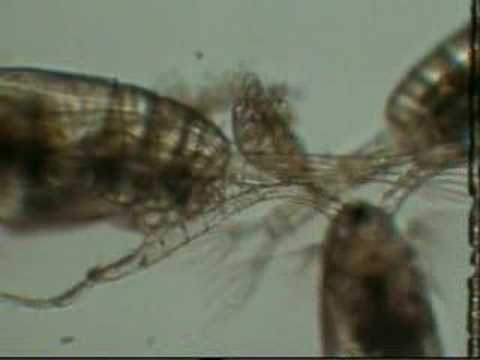 Zooplankton Feeding Copepod Adults And Larvae Nauplii Doovi