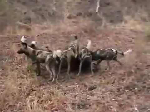 Vahşi Köpekler Sırtlanı Canlı Canlı Yiyor +13