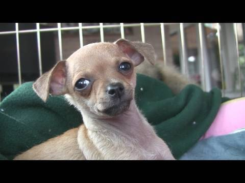 Chihuahua Puppies- 'Let Me Sleep' (in HD)