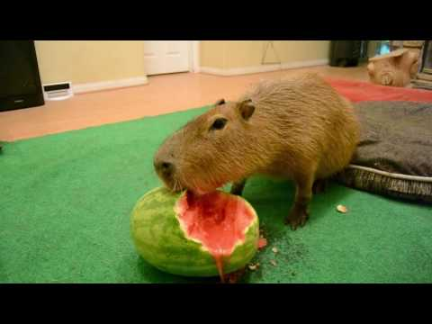 Capybara eating half a watermelon Full Video