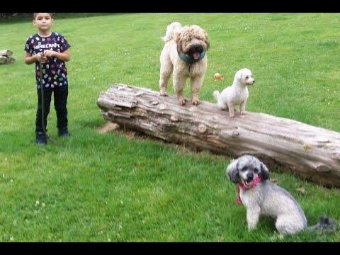 Bichon Peppa, Cavashon Sebastian & Wheaten Terrier Rufus.