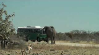 Elephant Charging Bus in Etosha National Park Namibie